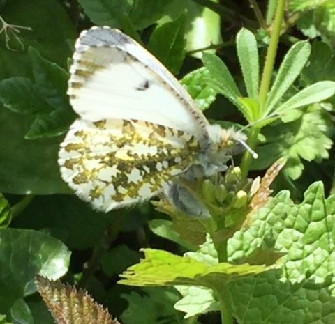 Female Orange-Tip egglaying. Photo: Elaine Conlon