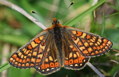 View of a fresh Marsh Fritillary from the top