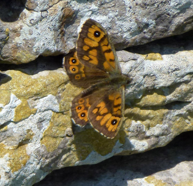 A Wall butterfly on a lichen-covered wall