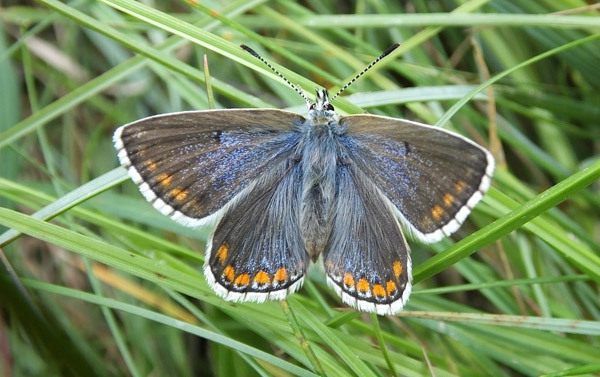 A female Adonis with more blue than usual on its upperwings