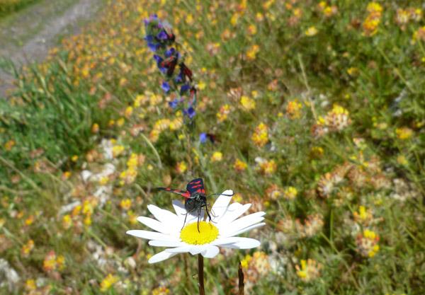 Burnet moth on an ox-eye daisy.