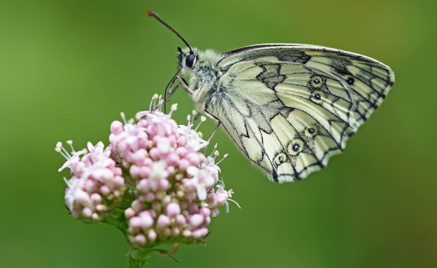 Marbled White on a flower head, showing the delicate pattern of the underwing