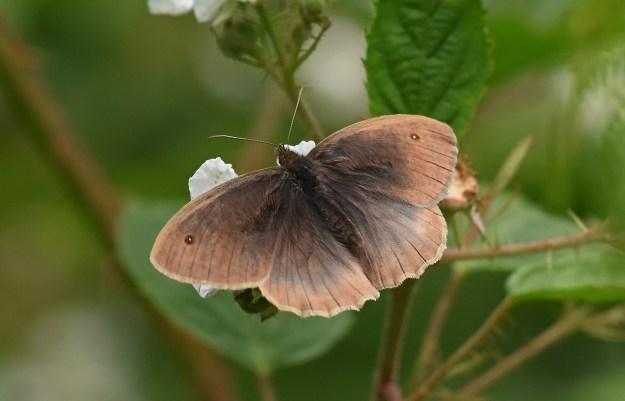 Meadow Brown top wings