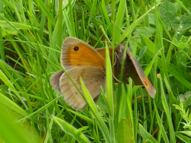 Two Meadow Browns in grass.