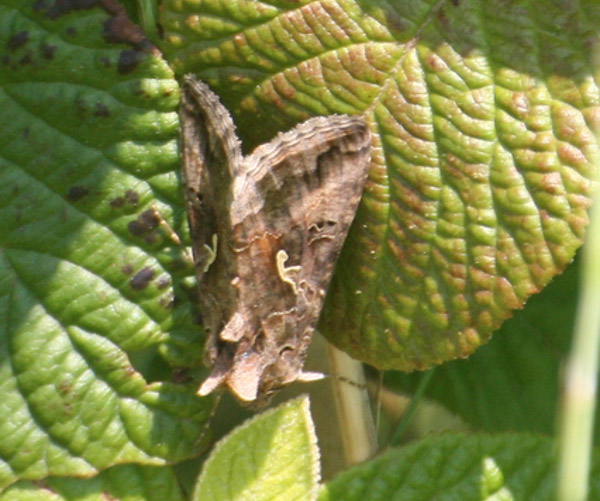 Brown moth with white Y marks on a leaf
