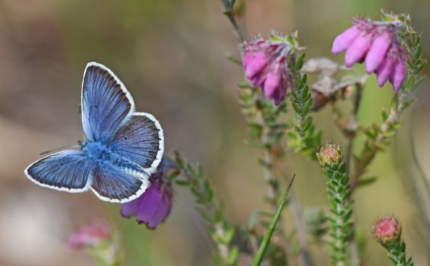 Silver-studded Blue on heather view of upper wings