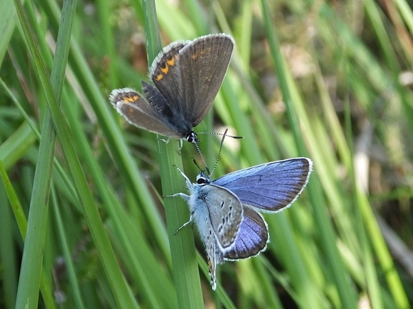 Male and female butterflies facing each other on a grass stalk