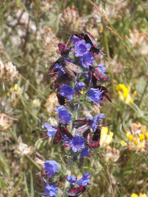 Around twelve Burnet moths on a bright blue flower spike