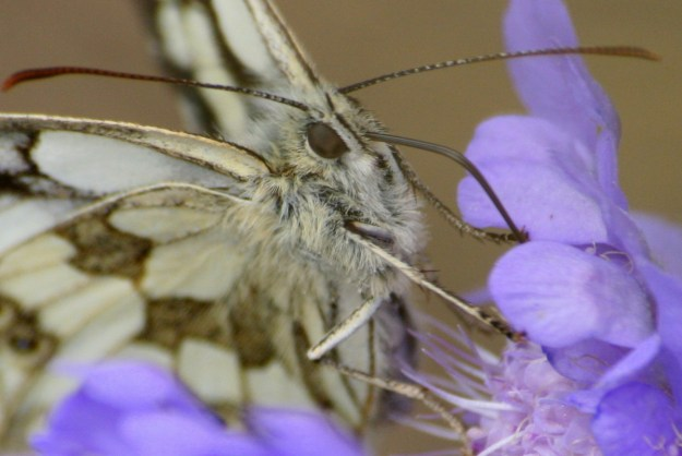 Close up of the head of a butterfly on a blue flower