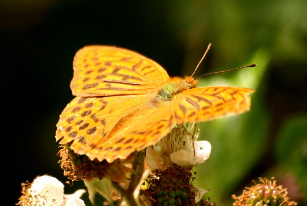 Large orange butterfly with open wings