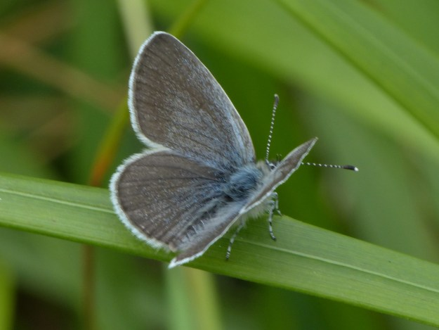 Small Blue with open wings on a leaf