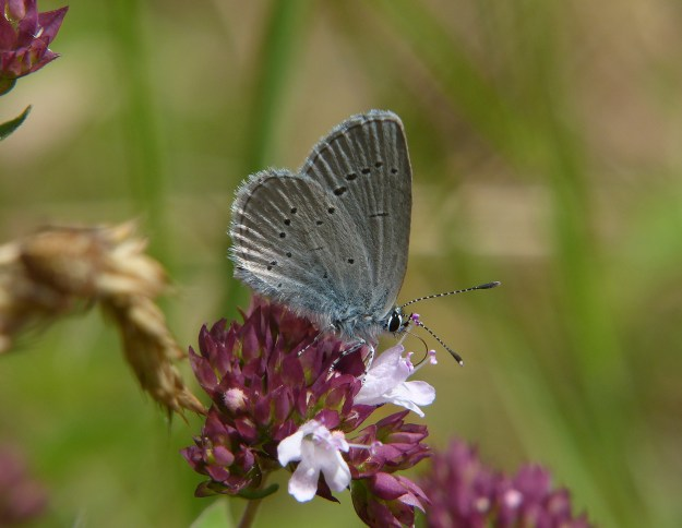 Side view of the Small Blue on a flower