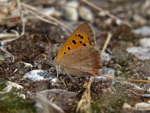Side view of Small copper on a stony area