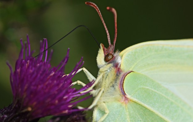 Close-up of the head of a Brimstone on a thistle flower
