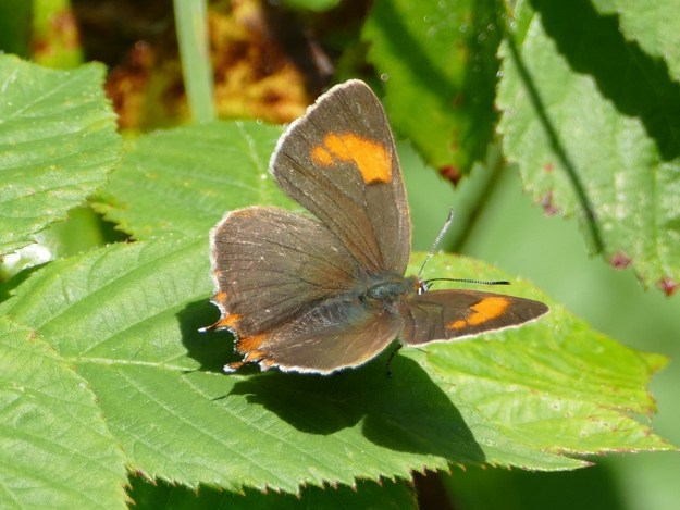 Brown butterfly with orange markings posed with open wings on a leaf