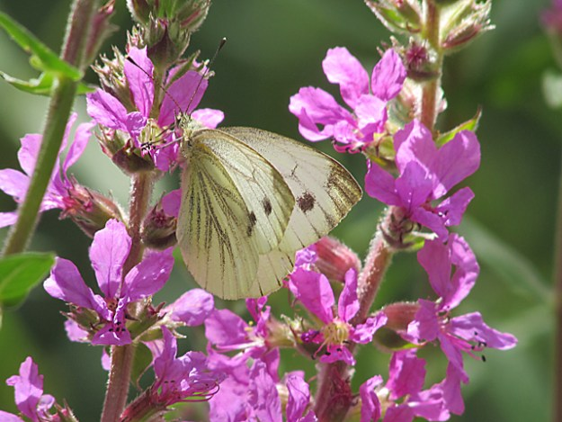 Green-veined White showing beautifully marked upper and underwing .Feeding on Bright ly coloured Purple Loosestrife