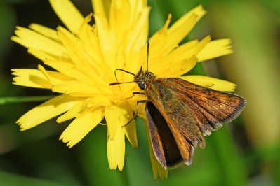 Small orangey-brown butterfly on a dandelion-like flower