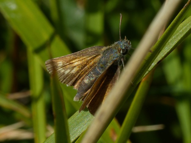 view of a very faded female Lulworth Skipper on a grass seed head