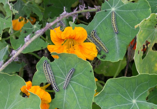 Five caterpillars on nasturtium leaves