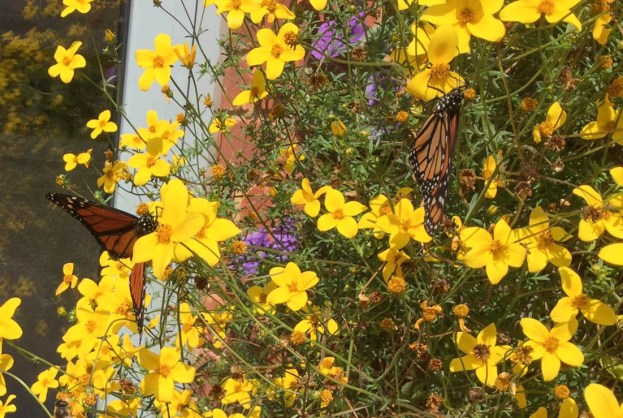 Two exotic butterflies on bright yellow flowers