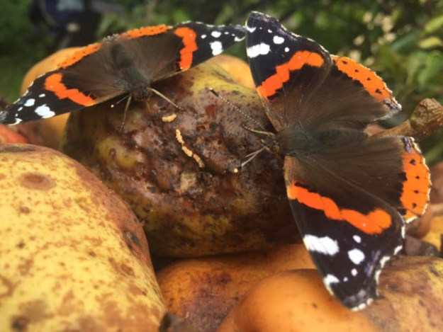 Two Red Admirals enjoying some rotting fruit