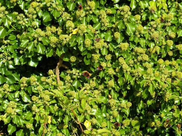 view of a bank of ivy with 8 red admirals nectaring on it
