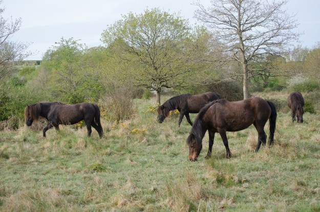 Ponies grazing Alners Gorse reserve.