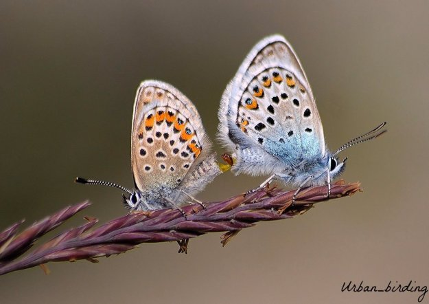 view of Silver-studded Blues mating on a grass but with abdomens tip to tip