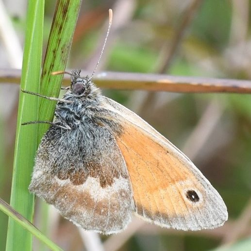 View of a Small Heath showing under fore-wings and hind-wings resting on a grass stem