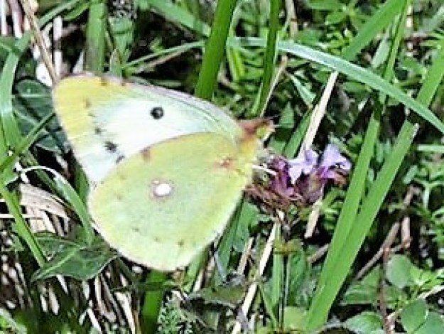 view of |a helice form of Clouded Yellow nectaring on a purple flower showing a little of upperside fore-wing and underside hind-wing