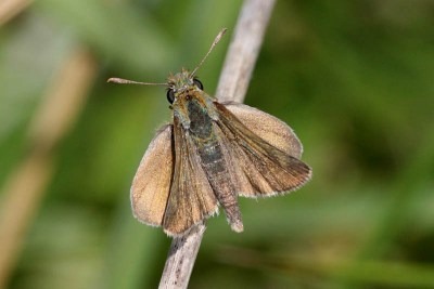 Dull brown butterfly with one set of wings looking darker than the other