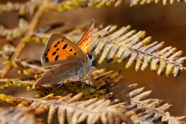 view of a Small Copper on bracken showing under fore and hindwings