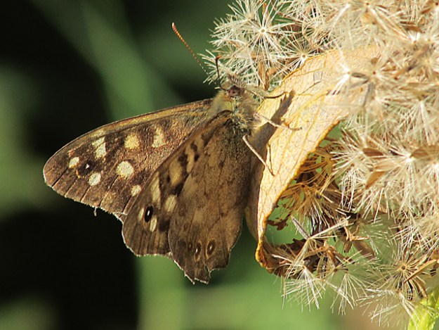 view of Speckled Wood showing upper fore-wing and under hind-wing, resting on a seed head