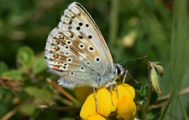 view of a Chalkhill Blue showing small silver studs as in Silver-studded Blue feeding on gorse