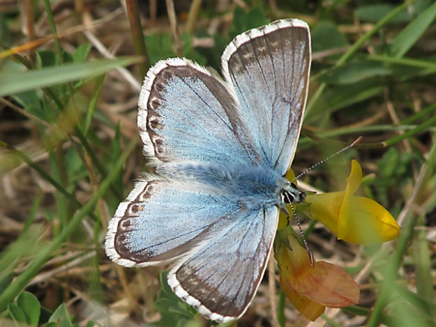 view of a Chalkhill Blue nectaring on Birdsfoot trefoil , showing all markings on top wings