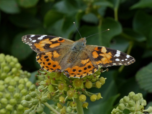 view of a Painted Lady with open wings on Ivy Berries