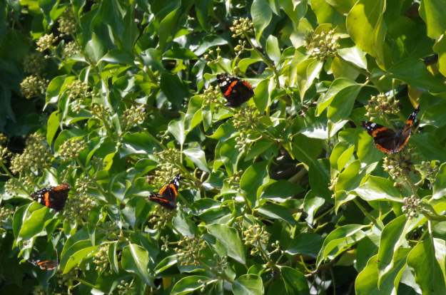 view of Red Admirals sunning themselves on Ivy