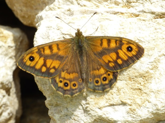 Wall Brown butterfly with open wings on white stone block