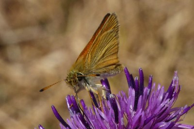 Pale brown and orange butterfly on a purple flower