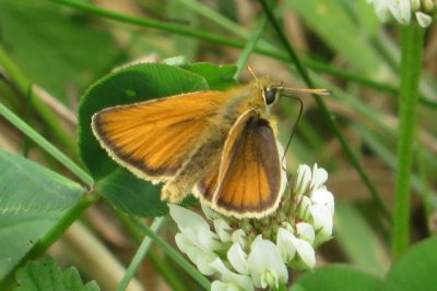Orangey brown butterlfy on white clover