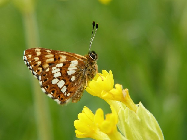 Side view of a small brown and white butterfly on a cowslip