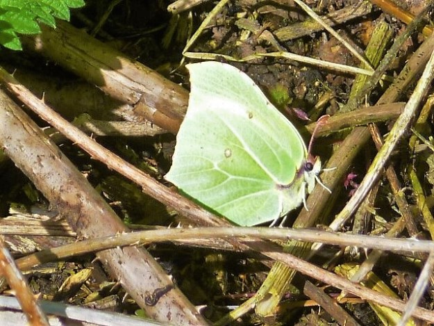 view of a Brimstone resting in dead brambles