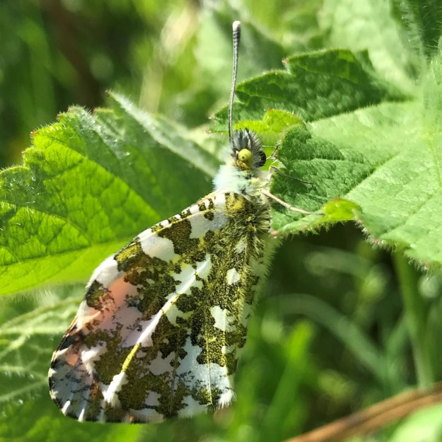 View of a freshly emerged |Orange tip on leaves showing undersides of wings