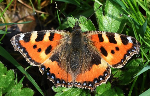 view of Small Tortoiseshell resting with open on wings on green leaves