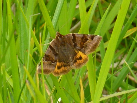 view of a Burnet Companion moth in grass with wings open showing details on  uppersides of all wings