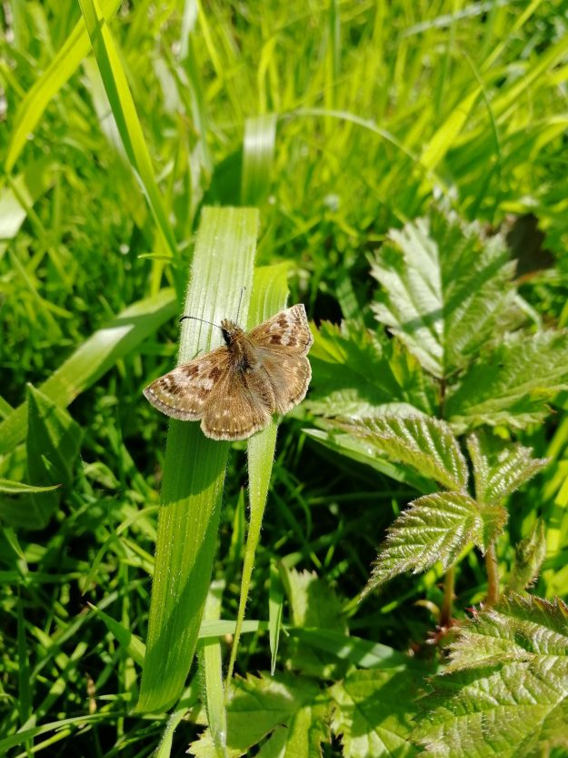 view of a Dingy Skipper with open wings on a grass