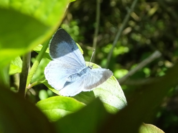 view of a female Holly Blue resting in hedgerow with wings open