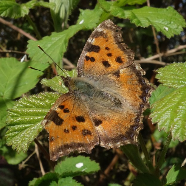 Orange butterfly with dark markings on a bramble leaf