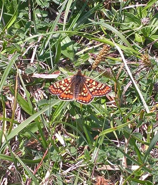 view of a Marsh Fritillary with wings fully open
