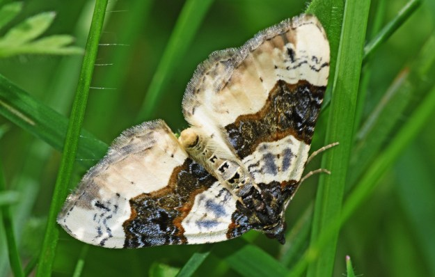view of a Purple Bar moth resting in grass with wings fully open
